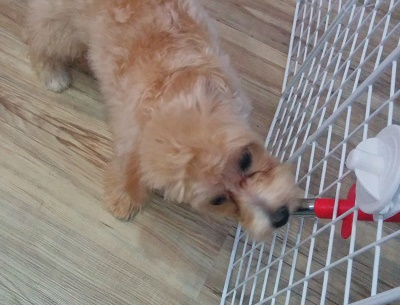シンガポールで犬を飼うのは大変そう