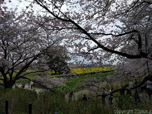 満開の桜を見ることができました