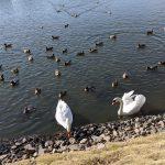 夫の実家近くに白鳥がいる水辺がありました
